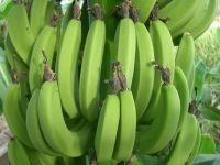 http://iishuusyoku.com/image/日本に輸送されるバナナは、硬く未成熟な「青バナナ」だけに決められています。